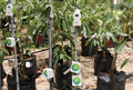 Avocado plant monitoring Precision Agriculture.png