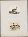 Aythya ferina - 1700-1880 - Print - Iconographia Zoologica - Special Collections University of Amsterdam - UBA01 IZ17700041.tif