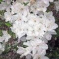Azaleas (Newark, Ohio, USA) 4 (34583020236).jpg