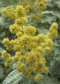 <i>Buddleja glomerata</i> species of plant