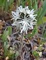 BLOW-WIVES ( achyrachaena mollis) (4-19-07) hi mt rd, slo co, ca (535346523).jpg