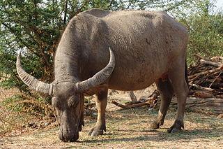 <i>Bubalus</i> Genus of mammals