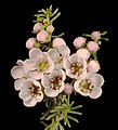 Babingtonia camphorosmae - Flickr - Kevin Thiele.jpg