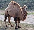 Bactrian camel (2917604030).jpg