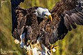 Bald eagle - Flickr - Alex Layzell.jpg