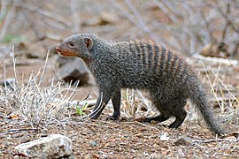 Banded Mongoose (Mungos mungo) foraging outside the fence ... (30800475932) (2).jpg