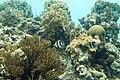 Banded butterflyfish Chaetodon striatus (2413646398).jpg