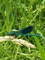 Banded demoiselle (Calopteryx splendens).jpg