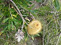 Banksia in Heath land with differing life cycles 01.jpg