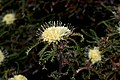 Banksia kippistiana - 48278366902.jpg