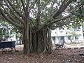 Banyan tree 1.JPG