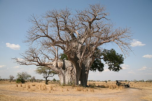 Baobab tree -near Sand River Selous, Selous Game Reserve, Tanzania-8