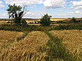 Barley Field near East Ilsley - geograph.org.uk - 33276.jpg
