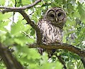 Barred Owl at Willmore Park (46974533775).jpg