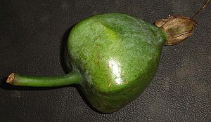 Barringtonia asiatica - Immature fruit (about fist size)