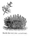 Basilic fin vert Vilmorin-Andrieux 1904.png