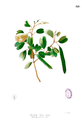 Bauhinia binata Blanco1.119.png