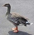 18 / Bean Goose