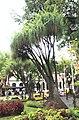 Beaucarnea recurvata Funchal Jardim Municipal Madeira 2016 2.jpg