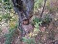 Beaver's teeth marks - Svislač - 2.jpg