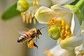Bee (147876205).jpeg