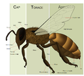 Bee anatomy - ro.png