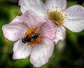 Bee merry (8199716283).jpg