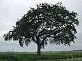 Beech tree on Dam Lane - geograph.org.uk - 188575.jpg