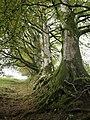 Beeches above Meldon Reservoir - geograph.org.uk - 595805.jpg