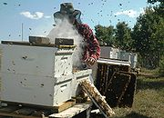 A commercial beekeeper working in an apiary.