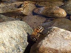 Moins d'Abeilles... dans ABEILLES 250px-Bees_drinking
