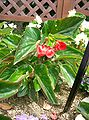 Begonia 'Dragon Wing Red'1.jpg