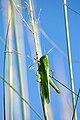Belalang hijau.jpg