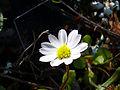 Bellis annua subsp. microcephala Enfoque 2011-3-20 SierraMadrona.jpg