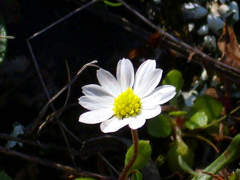 File:Bellis annua subsp. microcephala Enfoque 2011-3-20 SierraMadrona.jpg