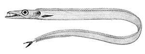 Cutlassfish - Image: Benthodesmus simonyi