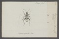 Beosus - Print - Iconographia Zoologica - Special Collections University of Amsterdam - UBAINV0274 040 07 0010.tif