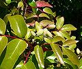 Berberis gracilis 2.jpg