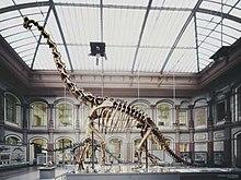 Berlin Naturkundemuseum Brachiosaurus henningsphoto de.jpg