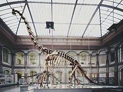 Squelette presque complet de giraffatitan, reconstitué au musée de Berlin