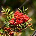 Berries (2853257163).jpg