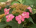 Bigleaf Hydrangea Hydrangea macrophylla 'Tokyo Delight' Five 2317px.jpg