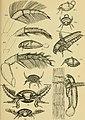 Biologische studien über dytisciden (1912) (20192924568).jpg