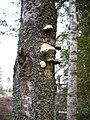 Birch bracket fungus - geograph.org.uk - 981519.jpg