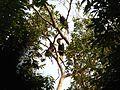 Bird Wreathed Hornbill Rhyticeros undulatus IMG 9195 (5).jpg
