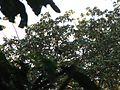 Bird Wreathed hornbill Rhyticeros undulatus IMG 7837 07.jpg