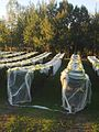 Bird netting on grapevines, Kumeu.jpg