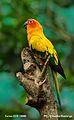Birds Sun Conure.jpg