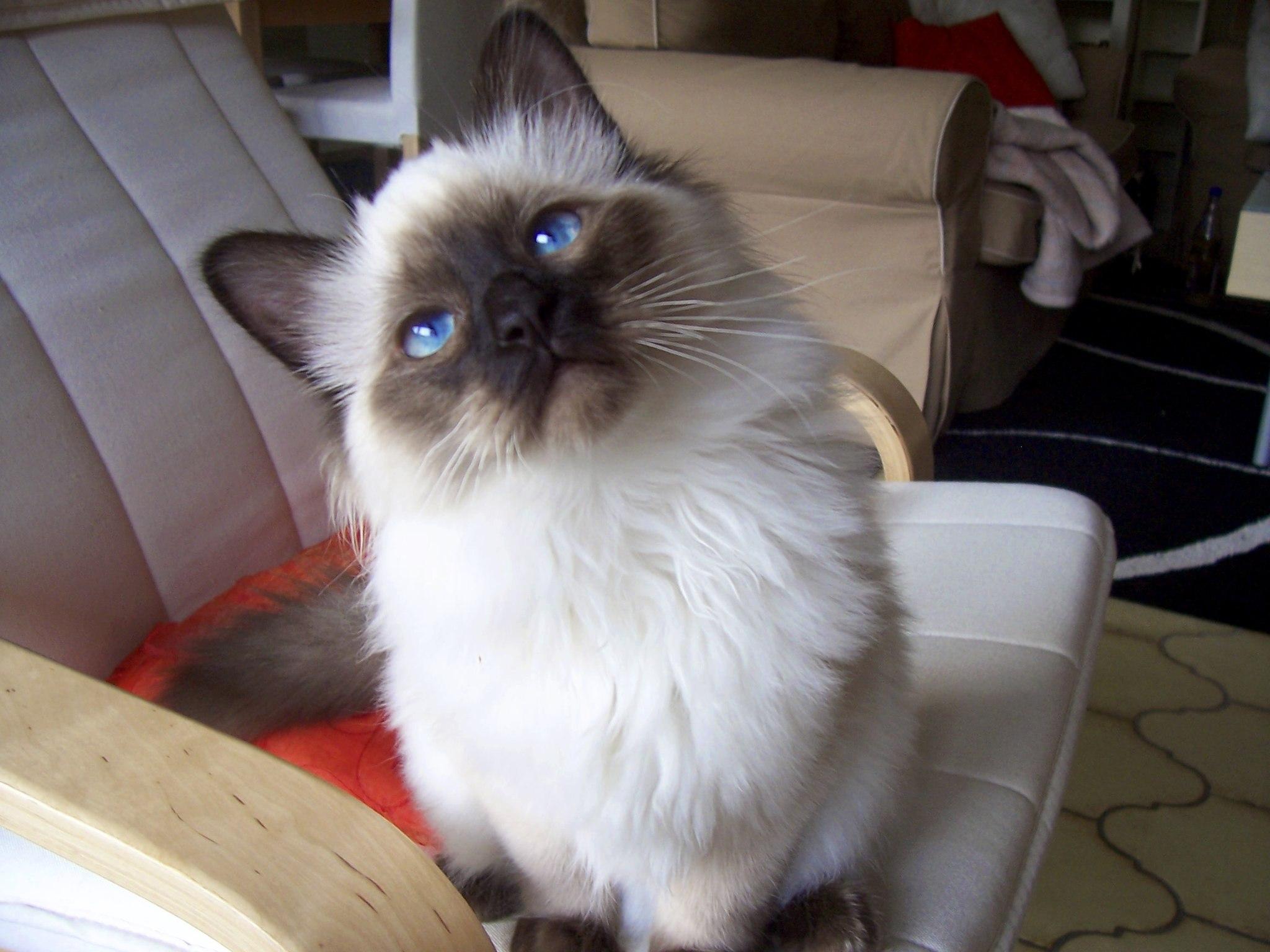 Birmano - Raza de gato