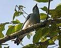 Black-bibbed Cuckoo-Shrike - Mindanao H8O1395 (17028149765) (cropped).jpg
